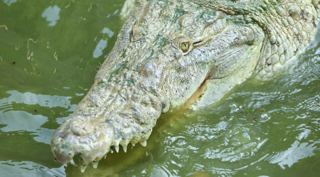 Durante nuestro voluntariado de conservación en México ayudarás al personal en un cocodrilario.